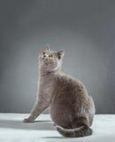 British Blue cat Stock Photo