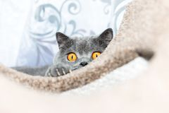 British blue cat in Hunting mode. Cat is lurking for toy. I believe there are things nobody would see if I didn`t photograph them Royalty Free Stock Photos