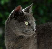 British blue cat is looking for food Royalty Free Stock Images