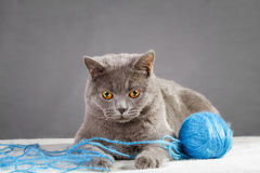 British Blue cat Royalty Free Stock Image