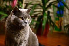 British blue cat portrait Royalty Free Stock Photo