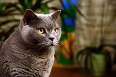 British blue cat portrait Stock Image