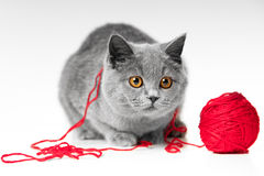 British blue cat with red ball of threads Royalty Free Stock Photos