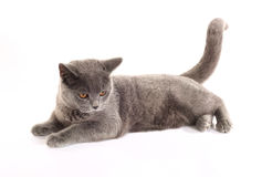 British blue cat Stock Image