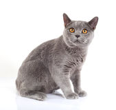 British blue cat Royalty Free Stock Photos