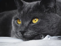 British blue cat with yellow eyes. Lying on the bed Royalty Free Stock Photo