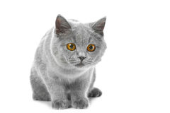 British blue kitten Royalty Free Stock Image