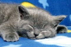 British blue kitten. Sleepy kitten royalty free stock photo
