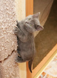 British blue kitten climbs up scratching post Royalty Free Stock Photos