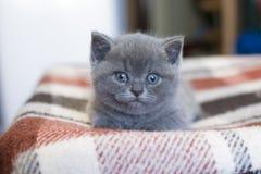 British blue Kitten. British blue Kitten, pet house, beautiful cat, cat view stock image