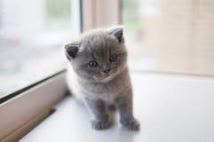 British blue Kitten. British blue Kitten, pet house, beautiful cat, Cheshire cat, cat view stock images