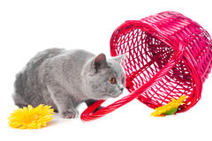 British blue kitten with pink basket Stock Photos