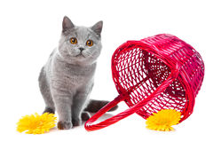 British blue kitten with pink basket Royalty Free Stock Photography