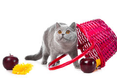 British blue kitten with pink basket on white Royalty Free Stock Photos