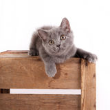 British Blue - Kitten 12 weeks old Royalty Free Stock Photography