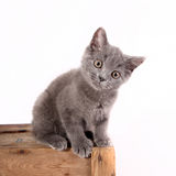 British Blue - Kitten 12 weeks old Royalty Free Stock Images