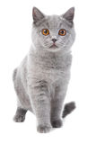 British blue kitten on white Royalty Free Stock Images