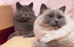British blue and ragdoll cats Royalty Free Stock Photos
