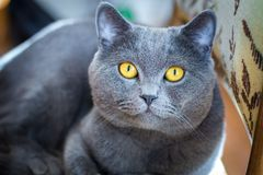 British Blue Short hair Cat. On chair Stock Image