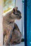 British blue  short hair kitten Stock Images