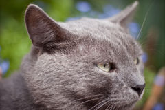 British blue short  hair kitten Stock Photo