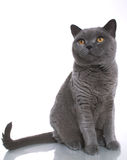 British Blue Shorthair Cat Stock Images