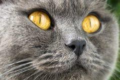 British blue shorthair cat stock image
