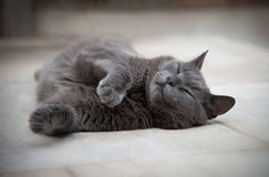 British blue shorthair cat Stock Photography
