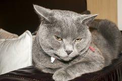 British Blue Shorthair cat Royalty Free Stock Photos