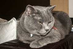 British Blue Shorthair cat Royalty Free Stock Image