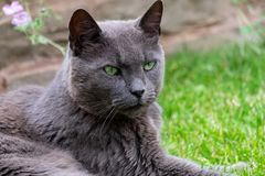 British Blue Shorthair Cat, relaxing in the garden. royalty free stock image