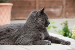 British Blue Shorthair Cat. Royalty Free Stock Images