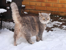British Blue Shorthair cat in the snow Stock Images