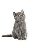 British blue shorthair kitten Royalty Free Stock Images