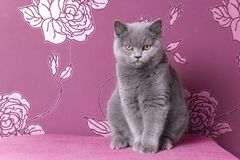 British blue shorthair kitten on a pink background Royalty Free Stock Photography
