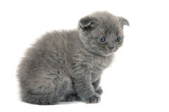 British blue shothair kitten Royalty Free Stock Photography