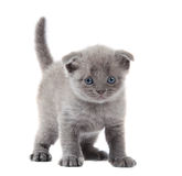 British blue shothair kitten Royalty Free Stock Photos