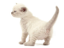 British blue shothair kitten Stock Photo