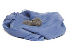 British blue shothair kitten Royalty Free Stock Photography