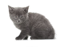 British blue shothair kitten Royalty Free Stock Image