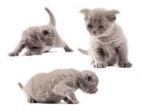 British blue shothair kittens Royalty Free Stock Photos