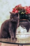 A British breed black cat on the coffee table. Stock Images
