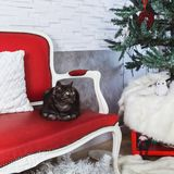 British breed cat smoky-gray colorlies on a red sofa stock photos
