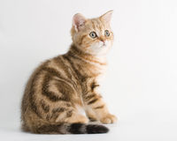 British breed kitten is isolated on white Stock Photo