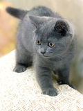 British breed kitten smoky-gray color Royalty Free Stock Photo