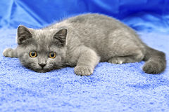 British breed kitten smoky-gray color Stock Photo