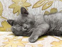 British breed kitten smoky-gray color Royalty Free Stock Images