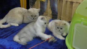 British breed kittens. Cats color Chinchilla stock footage