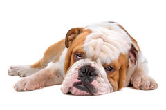 British bulldog Royalty Free Stock Photo