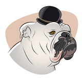 British bulldog with derby hat Royalty Free Stock Image